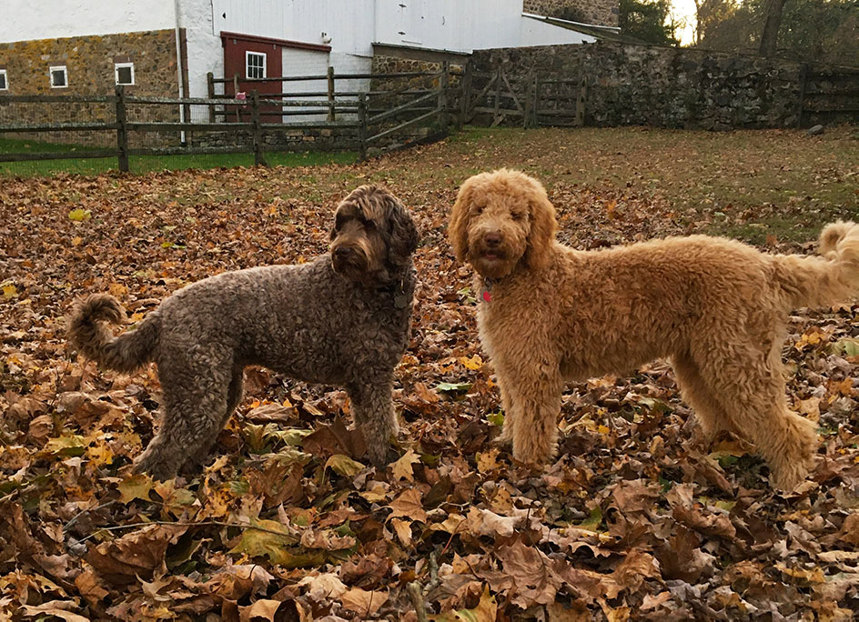 Dogs playing in leaves near a barn